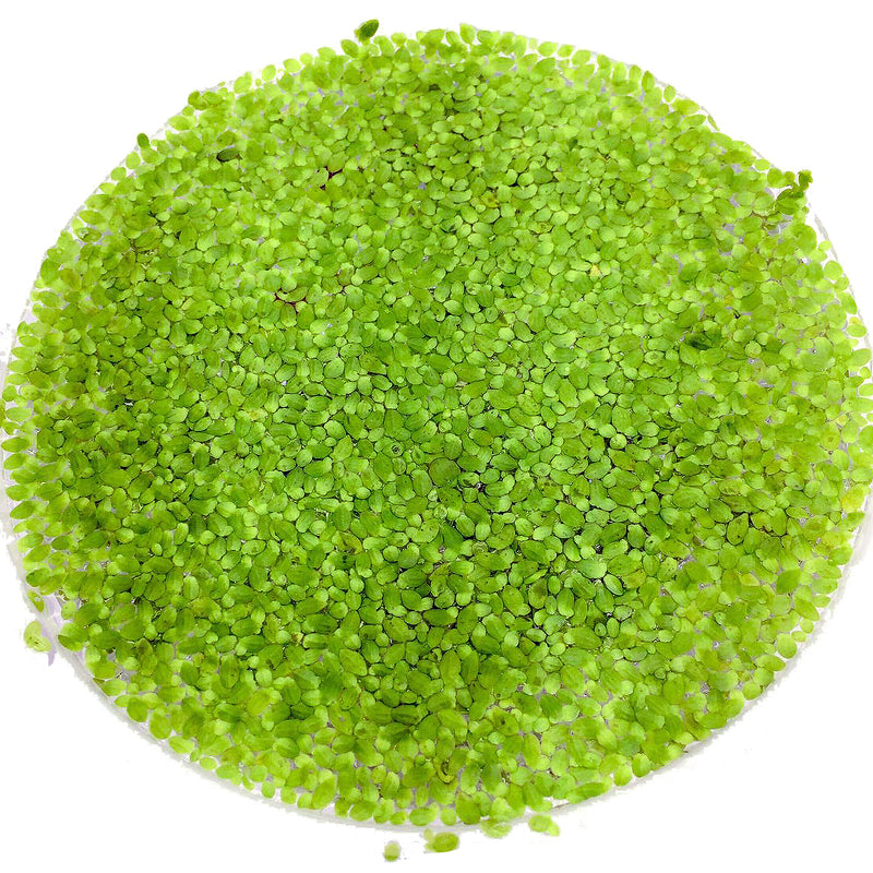 Floating Plants #3 (Duckweed / Bag)