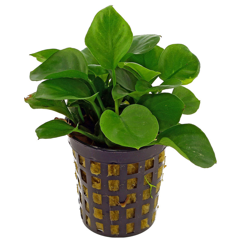 Anubias sp Coin (1 POT)