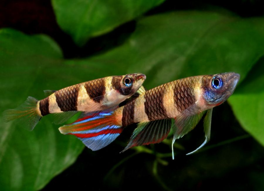 Epiplatys annulatus (Clown Killi)