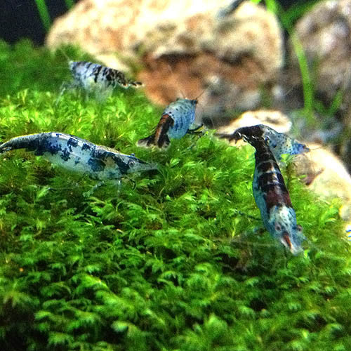 Silane Shrimp Rili Shrimp (Blue)