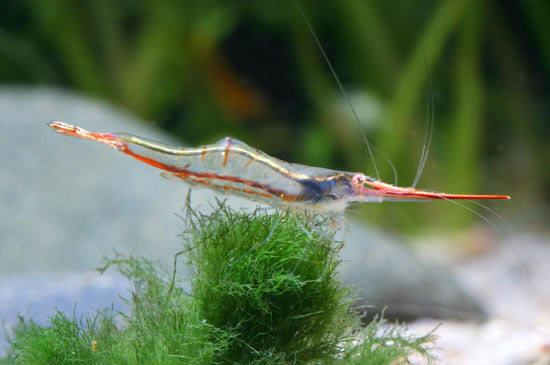 Red Nose Shrimp