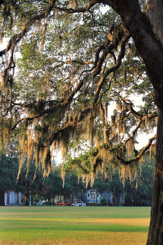 Spanish Moss Mornings