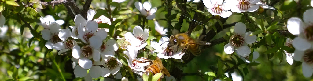 honey bee on manuka flower avatar honey