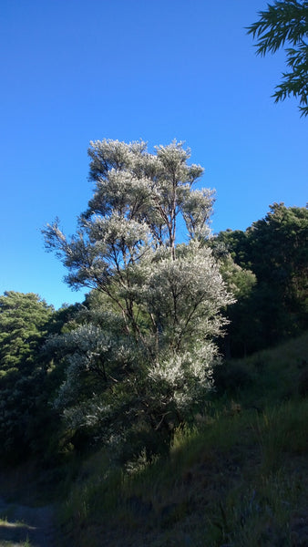 Huge Manuka Tree Flowering In New Zealand Avatar Apiries