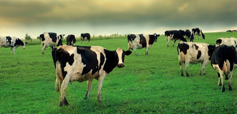 Holstein Friesian cattle in grass field