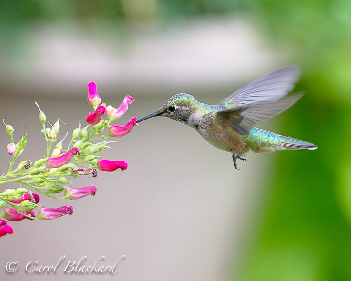 Hovering hummingbird feeding from red tubular flowers