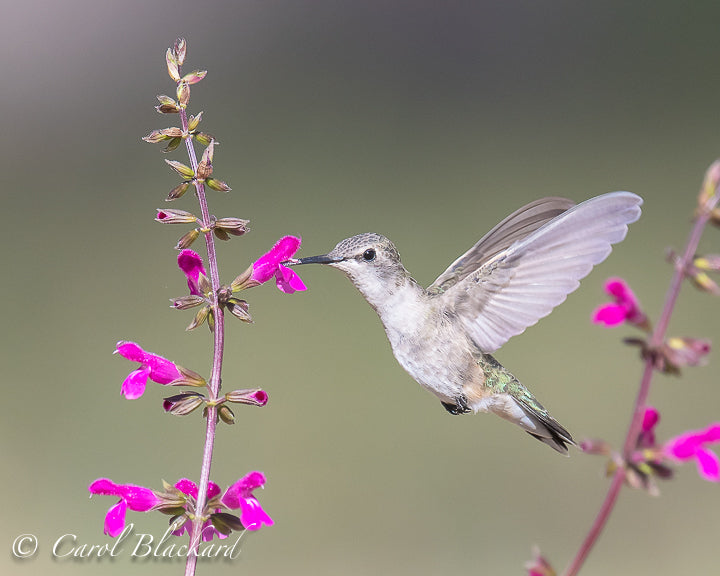 Hummingbird with wings wide at purple flowers