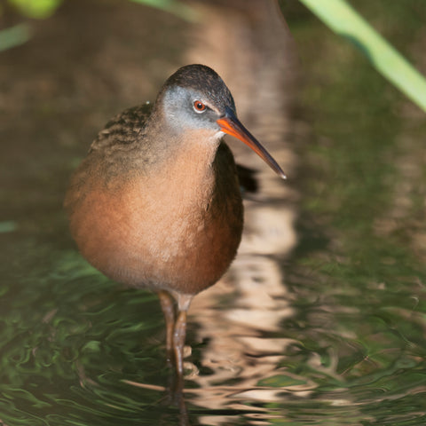 Beautiful wetland bird
