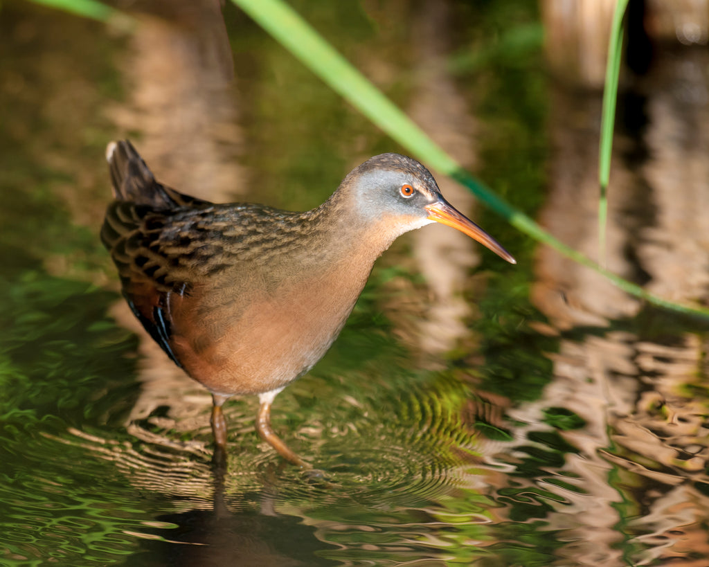 Profile of Virginia Rail