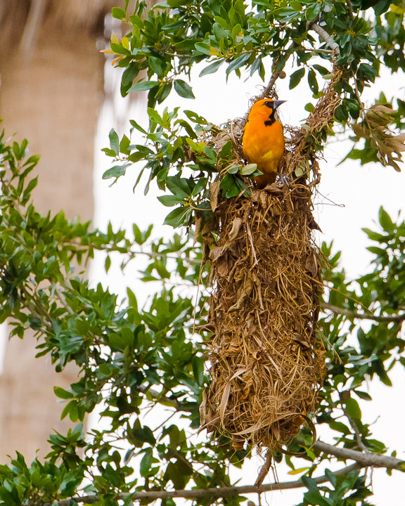 Altamira Oriole female at hanging nest