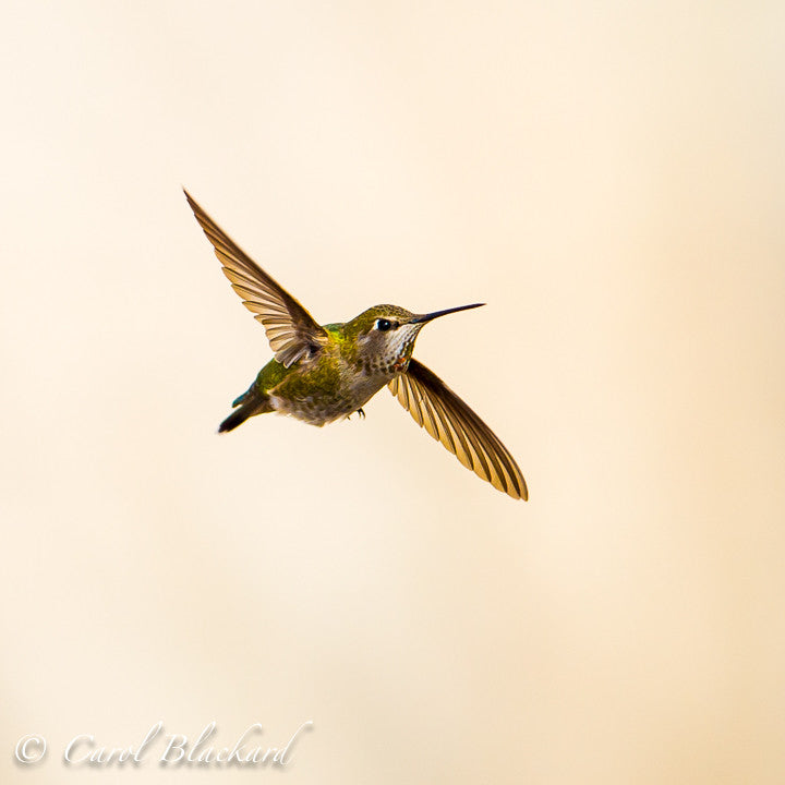 Anna's Hummingbird in flight, California