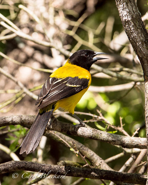 Audubon's Oriole bird yellow back showing