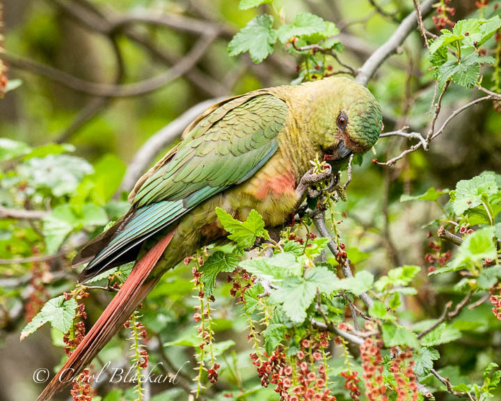 Green and rufous parakeet eating hanging buds