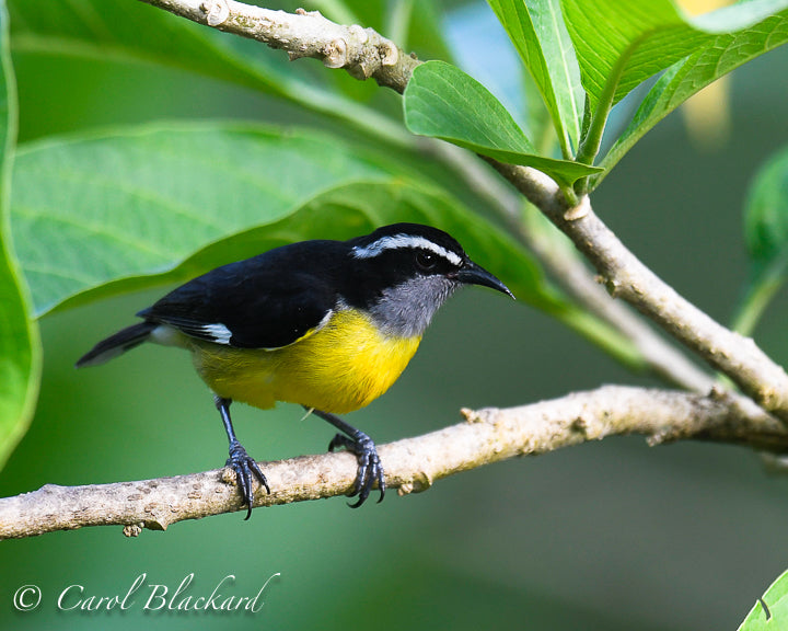 Yellow and black bird with white stripe on head