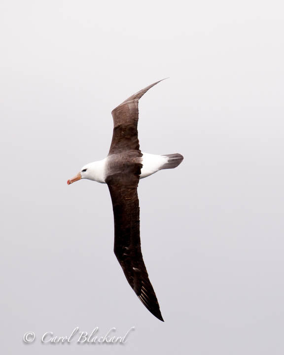 Large soaring albatross bird
