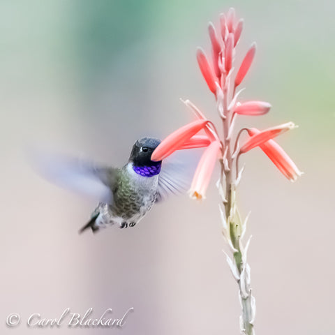 Purple-throated Hummingbird