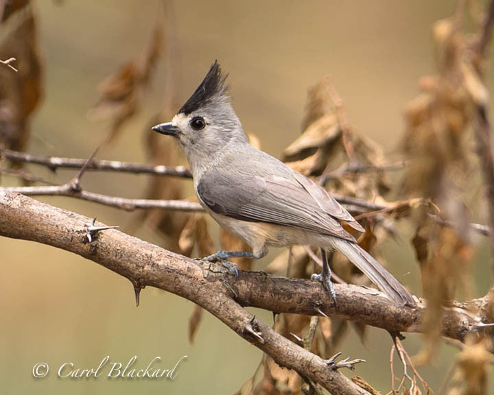 Titmouse bird with black crest on branch