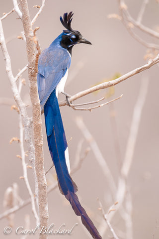 Very long blue tail on magpie-jay with tuft on head