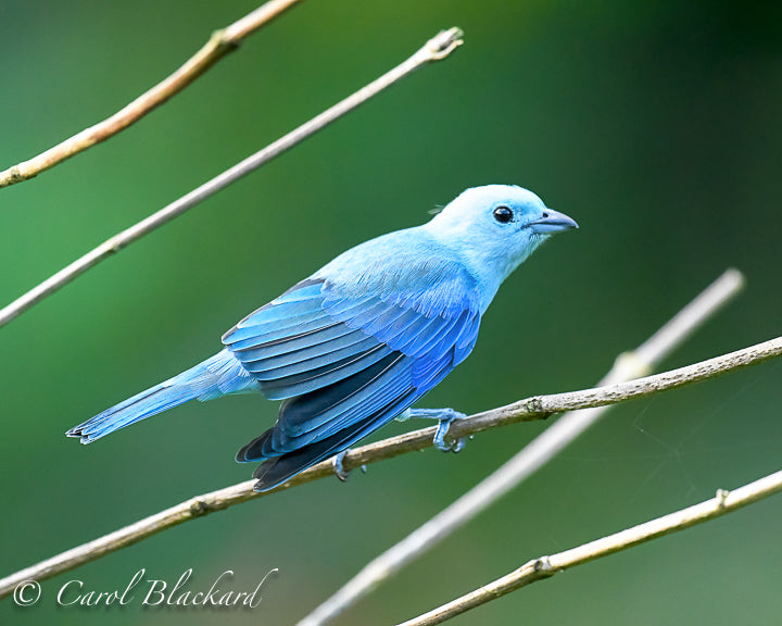Blue Tanager bird