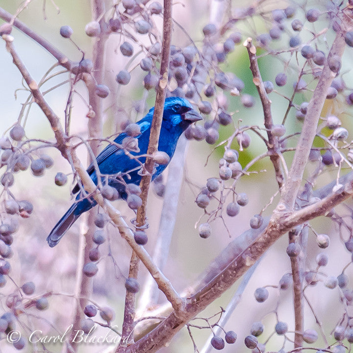 Blue Bunting among lavender berries