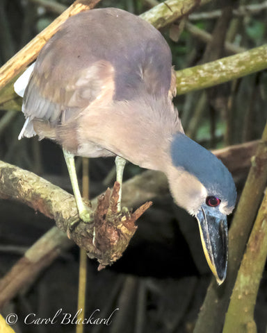 Boat-billed Heron, peering into water with his red eye, Mexico