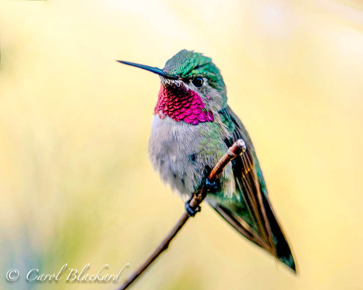Broad-tailed Hummingbird, against yellow, Colorado mountains