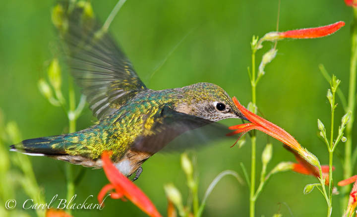 Broad-tailed Hummingbird, beautiful back and eye, at flower, Colorado