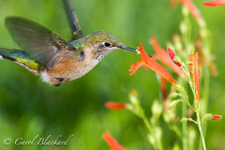Broad-tailed Hummingbird, banking into flower, Colorado