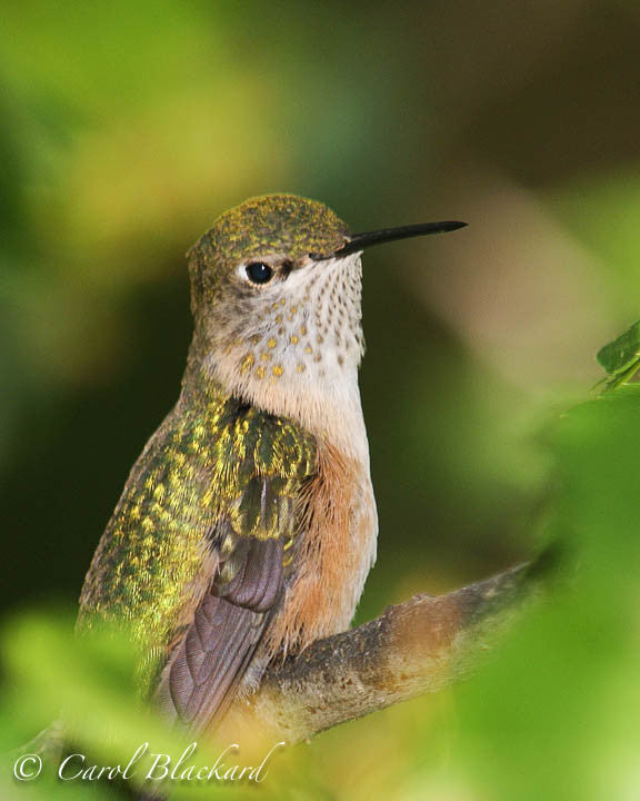 Broad-tailed Hummingbird, pensive perched, Colorado back yard