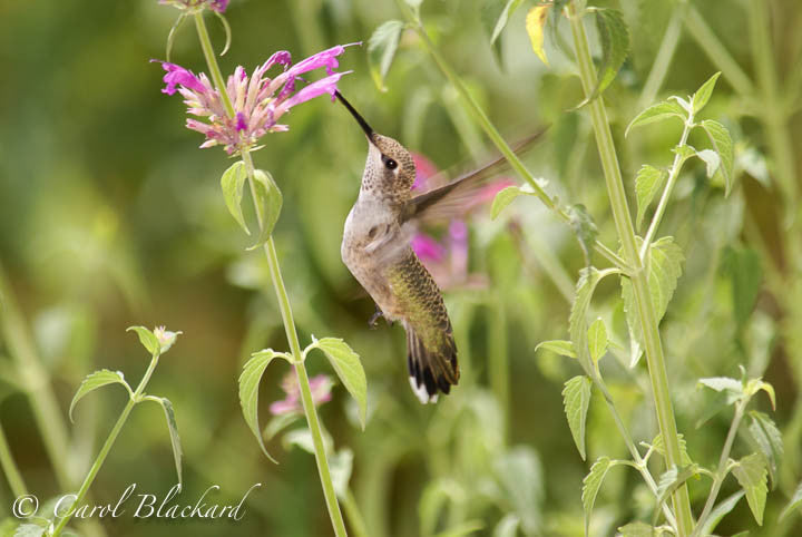 Broad-tailed Hummingbird, vertical approach to Agastache