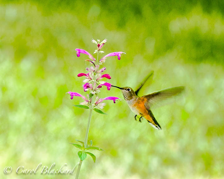 Broad-tailed Hummingbird at Agastache, against green space, Colorado