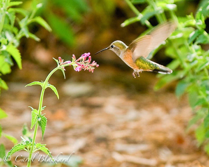 Broad-tailed Hummingbird horizontal approach to Agastache, Colorado