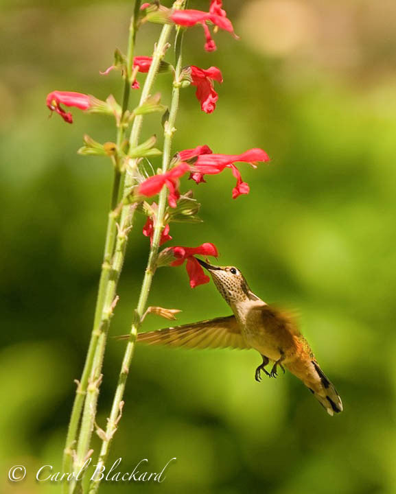 Broad-tailed Hummingbird, reaching up, at Mexican Sage