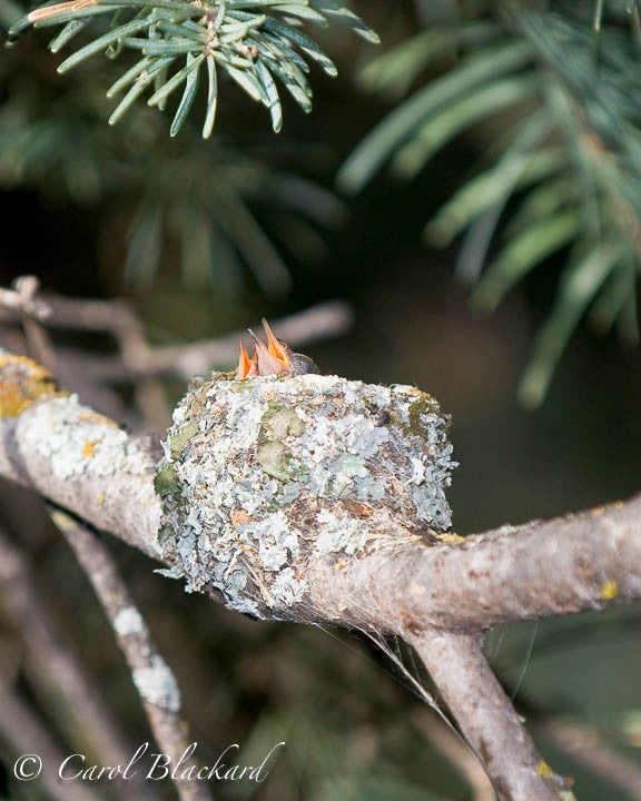 Broad-tailed Hummingbird hatchlings, Sangre de Cristo Mtns, CO