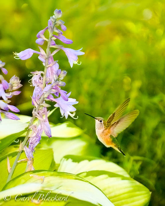 Broad-tailed Hummingbird on Hostas