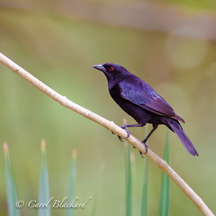 Red-eyed black bird on diagonal branch
