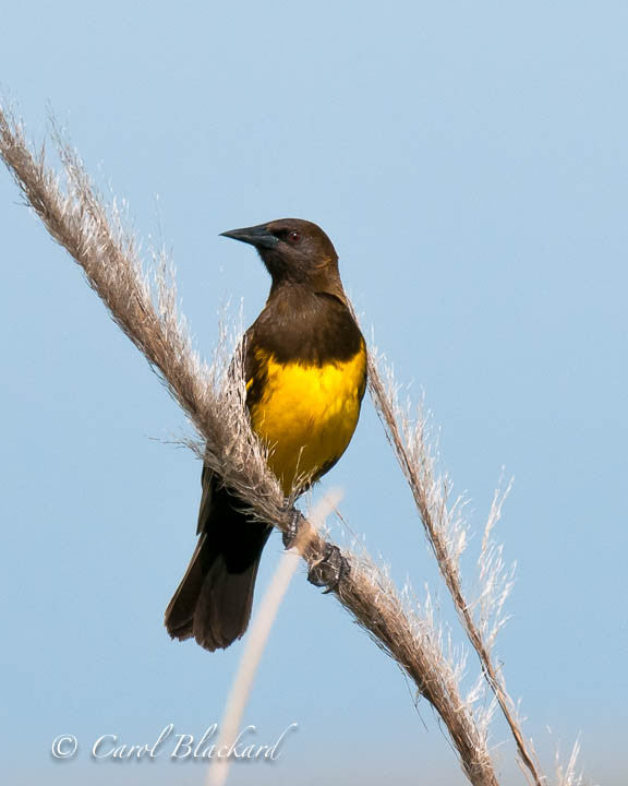 Brown and yellow marsh bird on a wispy stalk