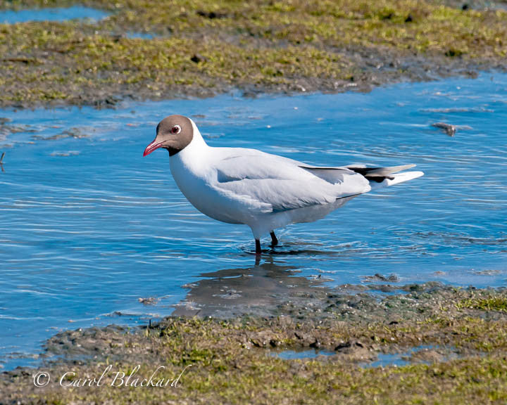 Brown-headed white gull standing in blue water