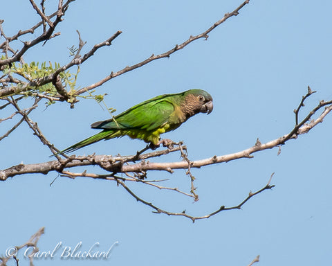 Brown and green parakeet