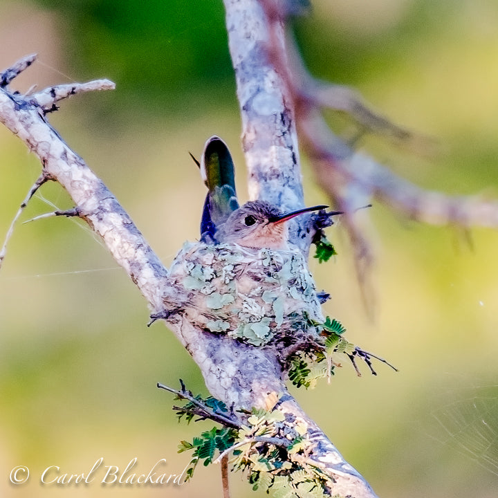 Buffy Hummingbird on nest