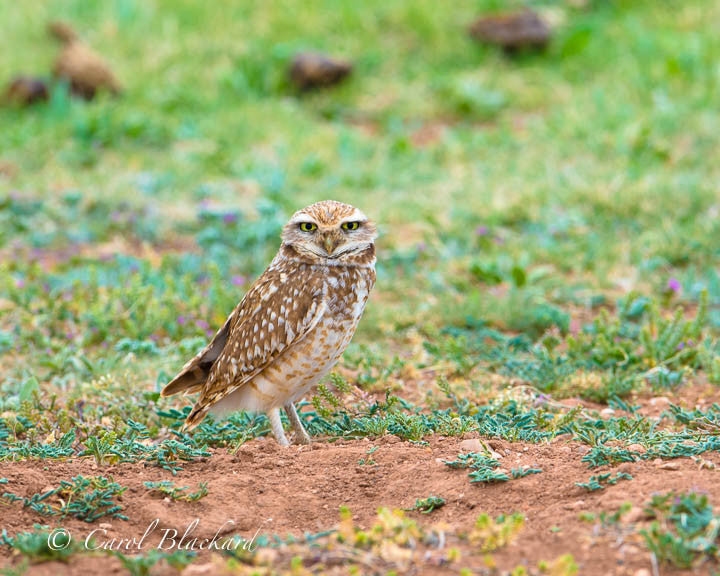 Burrowing Owl w yellow eyes standing on ground