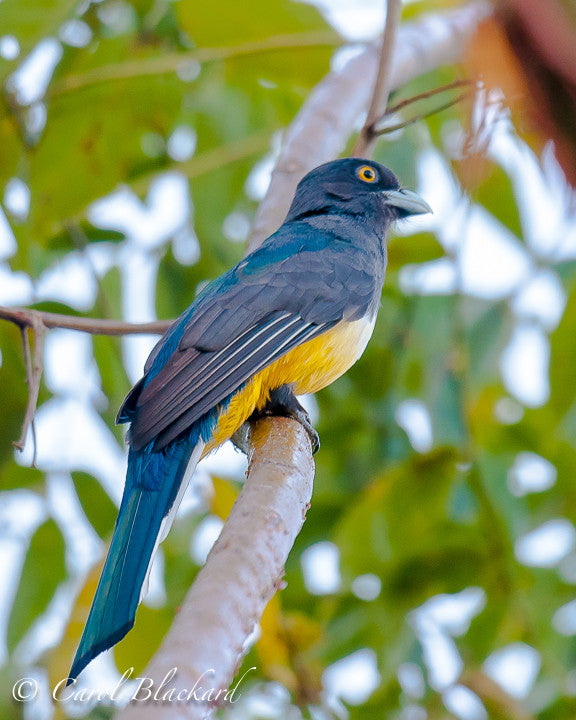 Yellow-bellied trogon with teal and navy back and yellow eye.