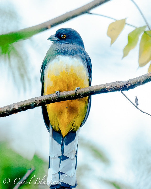 Frontal view of trogon bird with yellow belly.