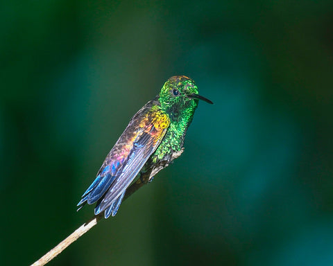 Irridescent feathers on hummingbird