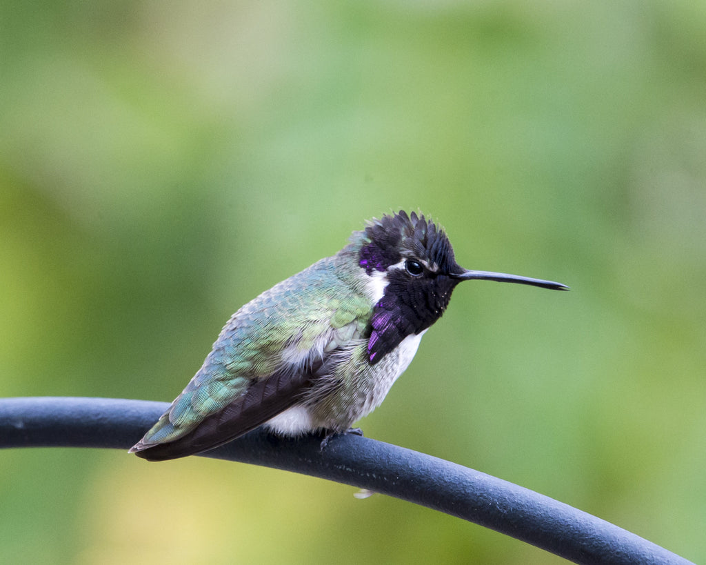 Costa Hummingbird male, breeding plumage