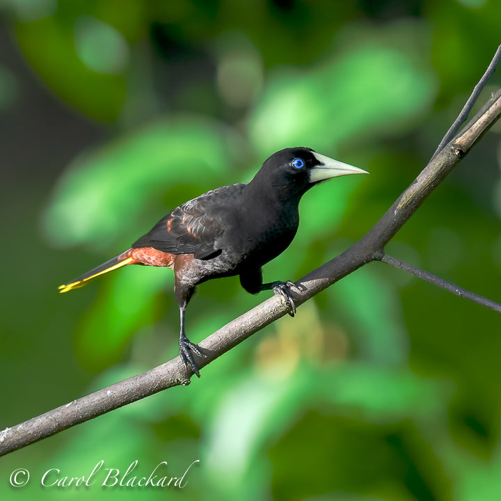 Blue-eyed black bird with long yellow tail