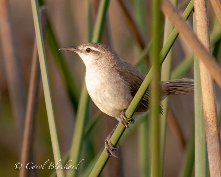 Curve-billed bird on green reed