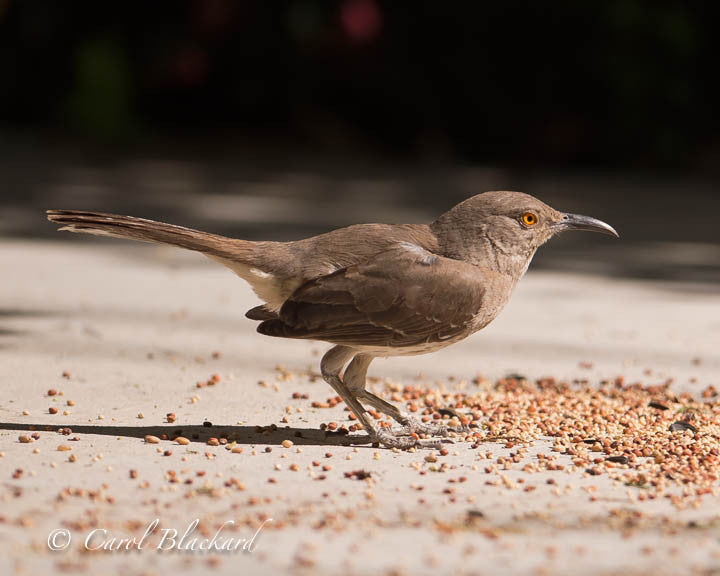 Curve-billed bird crouching on ground with seeds