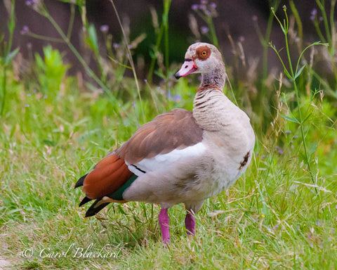 Brightly colored goose on green ground