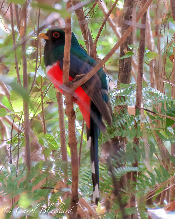 Bright red belly and eye ring on this perched bird